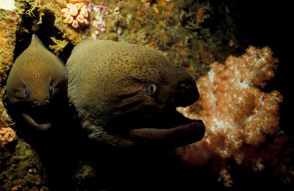 Pair of giant moray eels (Gymnothorax javanicus) peering from a shipwreck, South Ari Atoll, Maldives