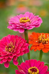 Zinnia 'Giant Flowered Mix'