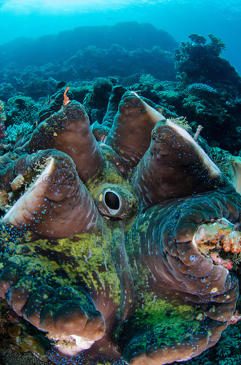 Giant Clam (Tridacna gigas)<br /> Cenderawasih Bay<br /> West Papua<br /> Indonesia