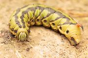 Convolvulus hawk-moth larva (Agrius convolvuli). Isle of Purbeck, Dorset, UK.