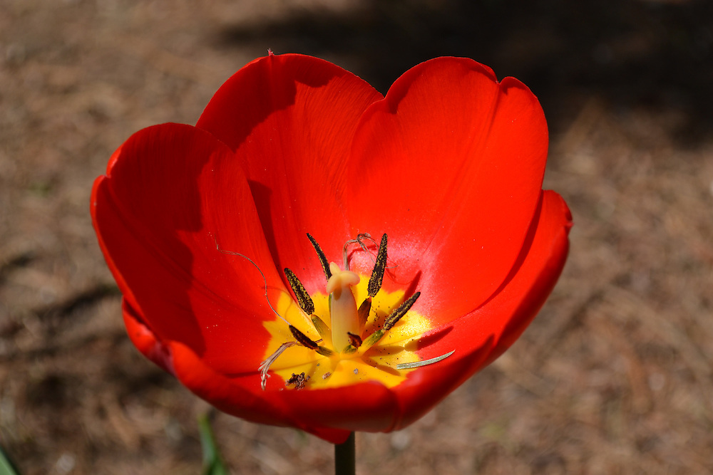 Red Tulip blossom Close up