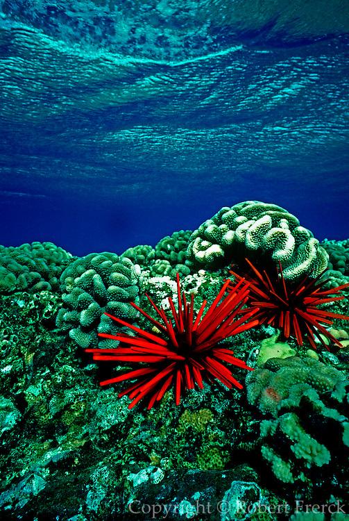 UNDERWATER MARINE LIFE HAWAII SEA URCHINS: Slate pencil urchins Echinoidea