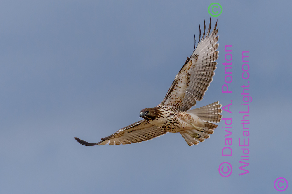 Juvenile red-tailed hawk in flight, with the flex of the primary wing feathers evident in the down-stroke of the wings, © David A. Ponton [Prints to 8x12, 16x24, 24x36 or 40x60 in. with no cropping]