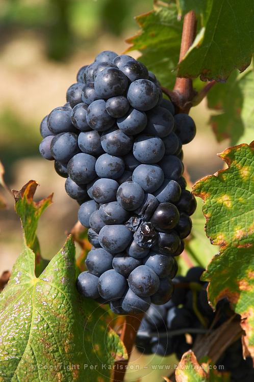 Bunches of ripe grapes. Grollot, grolleau variety. Chateau de Passavant, Anjou, Loire, France