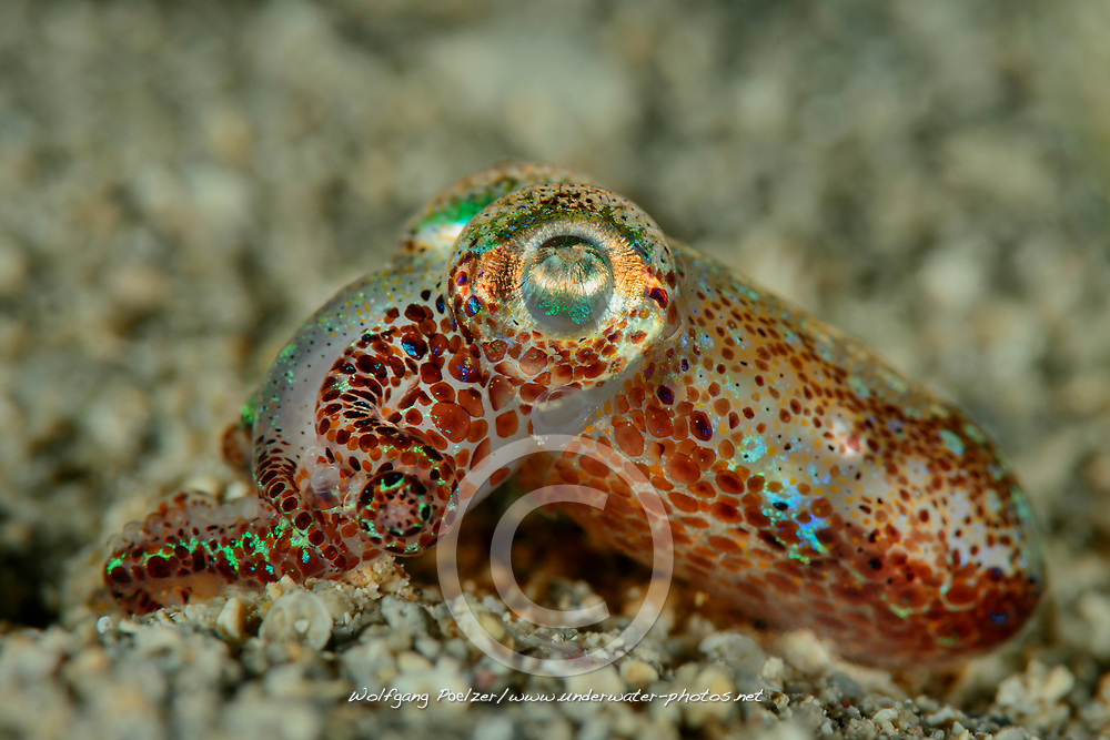 Sepietta oweniana, Zwergtintenfisch, Common Bobtail squid, Adria, Adriatisches Meer, Mittelmeer, Kornaten, Kroatien, Adriatic Sea, Mediterranean Sea, Dalmatia, Kornati, Croatia