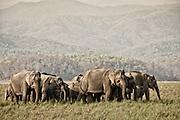 Wild elephant family - Ramganga delta