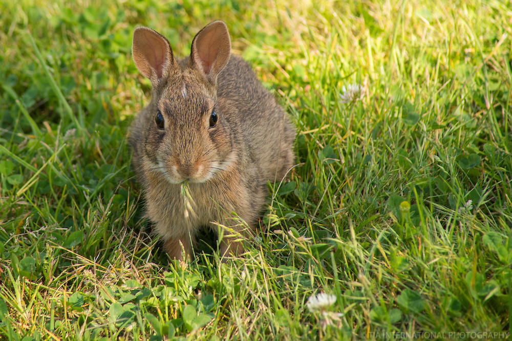 AUGUST 7th:  The Rabbit from Whidbey