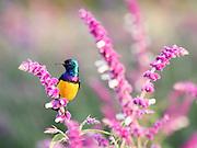 Africa, Tanzania, Lake Manyara National Park, Variable Sunbird Cinnyris venustus