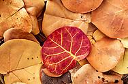 Pattern of fallen cocoplum leaves, Florida, © David A. Ponton