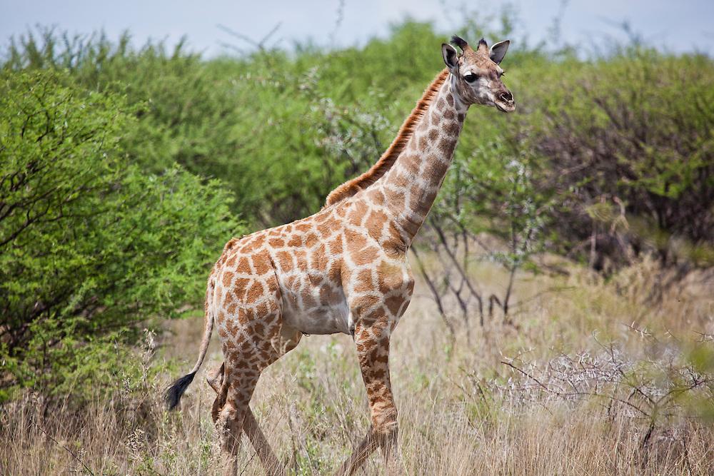 Baby Giraffe eyes mom for the next move. Etosha N.P. Namibia.
