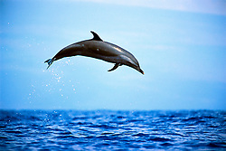 pantropical spotted dolphin leaping, Stenella attenuata, Big Island, Hawaii, Pacific Ocean