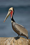 Brown Pelican - Pelecanus occidentalis - Adult breeding