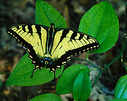 Tiger swallowtail, Papilio glaucus, Koomer Ridge, Red River Geological Area, Daniel Boone National Forest, Kentucky.