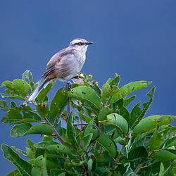 Sabiá-do-campo (Mimus saturninus) fotografado no Parque Nacional da Chapada dos Veadeiros - Goiás. Bioma Cerrado. Registro feito em 2015.<br /> ⠀<br /> ⠀<br /> <br /> <br /> <br /> <br /> ENGLISH: Chalk-browed Mockingbird photographed in Chapada dos Veadeiros National Park - Goias. Cerrado Biome. Picture made in 2015.