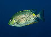 Gold saddle Rabbitfish, Siganus guttatus, swimming in open water, Tulamben, Bali, Indonesia