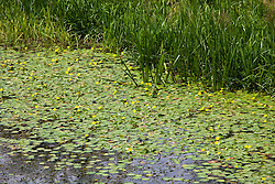 Fringed water-lily. Nymphoides peltata