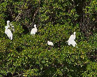 Great Egret (Ardea alba) and White Ibis (Eudocimus albus). Weedon Island Preserve. Pinellas County, Florida. Image taken with a Nikon D700 camera and 200-400 mm f/4 VR lens.