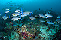 """Schooling Unicornfish and Barracudas<br /> <br /> Shot at Cape Kri, Raja Ampat Islands, W. Papua Province, Indonesia<br /> <br /> Cape Kri is one of the """"fishiest"""" dives in the world.  Given its protection in the Raja Ampat Marine Protected Area, as well as its proximity to a resort that does a great job of """"policing"""" the adjacent areas, this reef is among the healthiest in the Coral Triangle."""