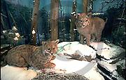 Pennsylvania State Museum, Natural History, PA Bobcat, Harrisburg, PA
