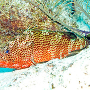 Red Hind inhabit reefs in Tropical West Atlantic; picture taken Little Cayman.