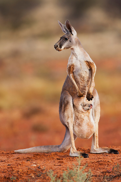 A red kangaroo infant joey starts to poke its head out of the pouch,(Macropus rufus) while mother looks to the side,  Sturt Stony Desert,  Australia