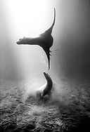 Gregarious and curious by nature, two California sea lions dance and play in the underwater world of Channel Islands National Park, California.