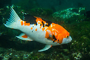 Harlequin Wrasse (Bodianus eclancheri)<br /> Tagus Cove off Isablea Island. GALAPAGOS ISLANDS<br /> ECUADOR.  South America<br /> The Harlequin's design of orange, black and white with any of the three colors predominating and no two fish are alike.<br /> RANGE: Prefer cold water and bolders or reefs. More common in the southern and western Isles down to Central Chile