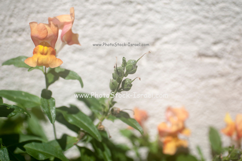 Seed pod forming on an Antirrhinum flower commonly known as Snapdragon.