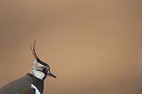 Lapwing (Vanellus vanellus ), Lake Hornborga, Sweden. March 2009. Mission: Sweden (crane and swan)