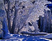 Snow and rime-coated Whitebark Pines, Pinus albicaulis, Galena Summit, Sawtooth National Recreation Area, Sawtooth National Forest, Idaho.