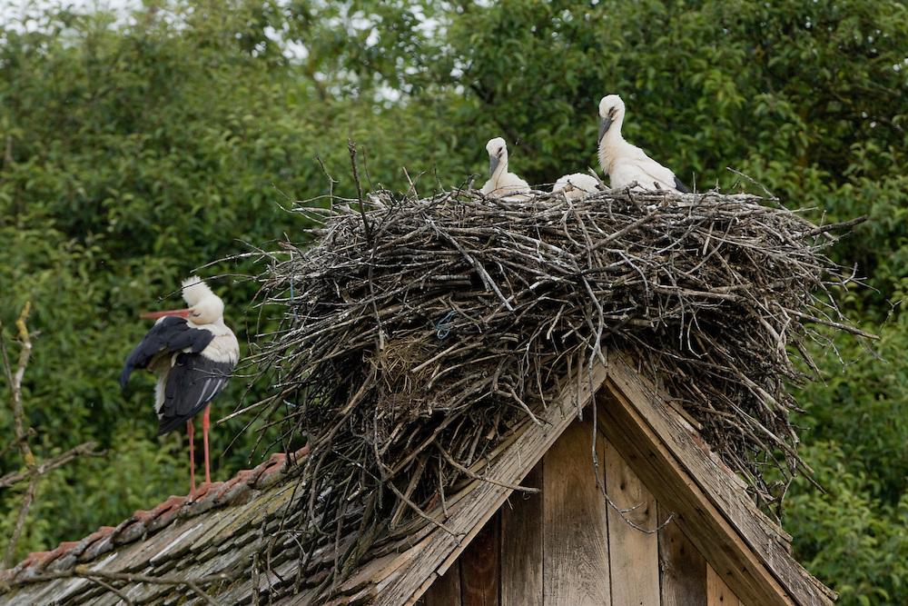 White stork (Ciconia ciconia) nesting on roof. Čigoč village: recognized as the first founded European Stork Site by the E.U.; one of the European Stork Villages European network. Lonjsko Polje Nature Park. Ramsar Site. Sisack-Moslavina county. Slavonia region. Posavina area. June 2009. Croatia.<br /> Elio della Ferrera / Wild Wonders of Europe