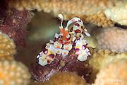 harlequin shrimp, Hymenocera picta, feeding on juvenile cushion star, deep within a head of antler coral, Lone Tree Arch, Kohanaiki, Kona, Hawaii ( the Big Island ), Hawaiian Islands ( Central Pacific Ocean )