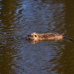"""""""Ratão-do-banhado (Myocastor coypus) fotografado na Alemanha, na Unição Européia - Europa. Registro feito em 2016.<br /> ⠀<br /> <br /> ENGLISH: River Rat photographed in Germany, in European Union - Europe. Picture made in 2016."""""""