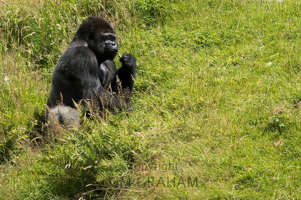 Male Western Lowland Gorilla, Gorilla gorilla gorilla, feeding at Jersey Zoo - Durrell Wildlife Conservation Trust, Channel Isles