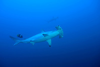 Scalloped hammerhead shark getting cleaned