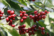 Ethiopia, Tana Lake, coffee beans on a bush