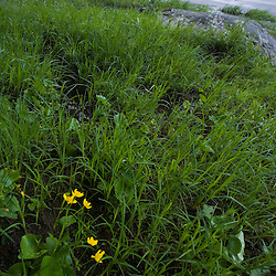Marsh marigolds on the banks of the Ferns and the West Branch of the Westfield River in Chesterfield, Massachusetts.  Just below Chesterfield Gorge.