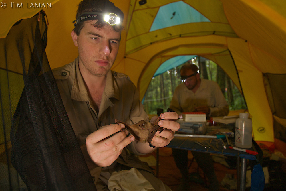 Foja Mountains RAP expedition mammalogist Kris Helgen shows a Blossom Bat (Syconycteris sp.) he captured that is an undescribed species.  Ornithologist Chris Milensky works on bird specimens in the background.<br />