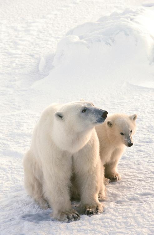 Canada, Churchill. Polar Bear (Ursus maritimus) mother with cub.
