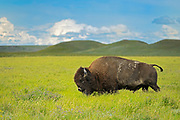 Plains bison (Bison bison) in grasslands, Grasslands National Park, Saskatchewan, Canada