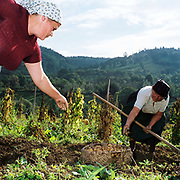 Two Romanian peasant farmers harvest organically grown potatoes, Botiza, Maramures, Romania. 90% of vegetable production is grown in small household plots and mainly used for self-consumption and for sale on local markets.