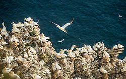 Gannets nest at the RSPB nature reserve at Bempton Cliffs in Yorkshire, as over 250,000 seabirds flock to the chalk cliffs to find a mate and raise their young.