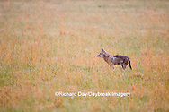 01864-034.02 Coyote (Canis latrans) in field, Cades Cove, Great Smoky Mountains NP, TN