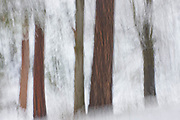 Forest Snowstorm, Ahwahnee, California  2008