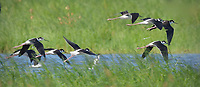 I panned the camera to capture these Black-necked Stilts at the Merced National Wildlife Refuge in California.