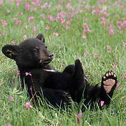 Black Bear, (Ursus americanus) Cub in field of Shooting Star flowers. Montana. Captive Animal.