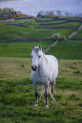 Horse in an Irish field near Cornamona, County Galway, Ireland
