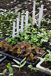 Young vegetable seedlings in the greenhouse at Charles Dowding's organic vegetable garden
