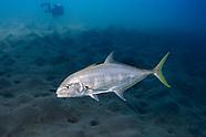Yellow jack fish (Carangoides bartholomaei)