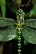 Southern hawker dragonfly - close up showing colouration of body